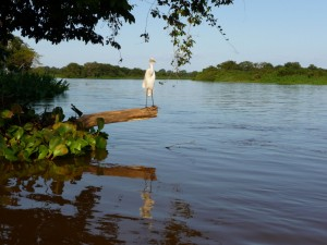 Birdlife of the Pantanal