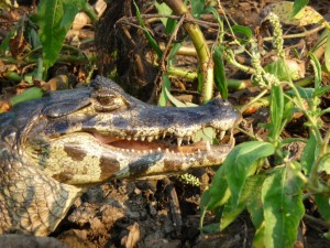 Up close with a Cayman, Pantanal