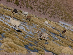 Llama grazing on a frozen river, San Pedro Atacama