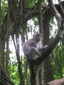 Monkey at the Monkey Forest, Ubud