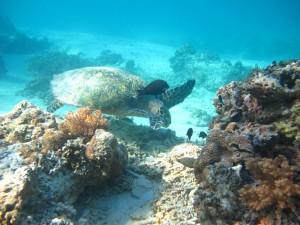 Sea Turtle at Gili Trawangan